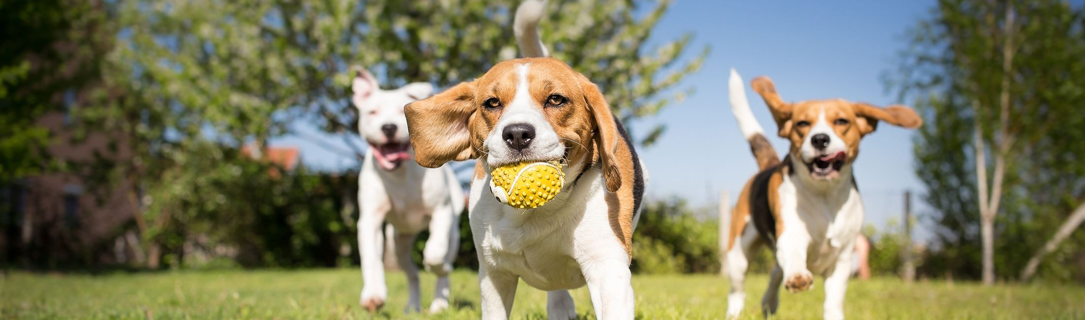 a beagle with a ball in his mouth being chased by two other dogs